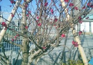 剪定前の梅の懐部