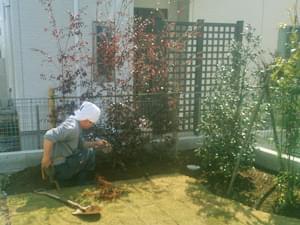 紅花トキワマンサクの植栽