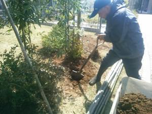 シラカシその他植栽後、風留め竹の設置