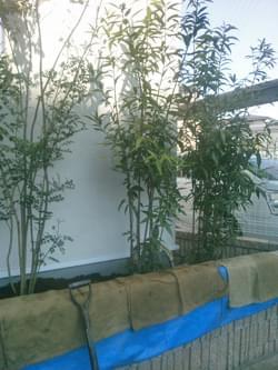 シラカシの植栽