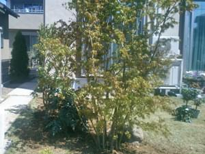 モミジと金柑が折り重なる植栽