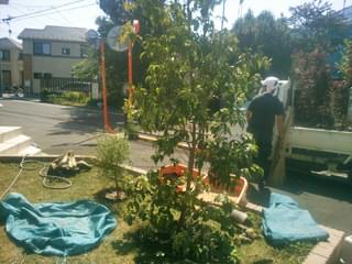 常緑ヤマボウシ(ホンコンエンシス)の植栽