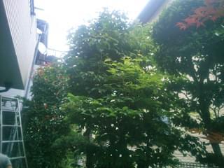 剪定前のヤマボウシ