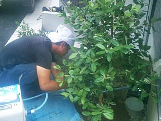 一旦植木の水決めを行います