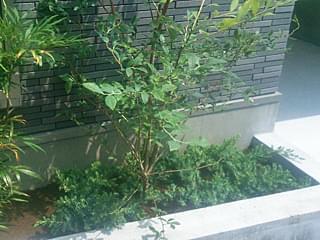 ブルーパシフィックの寄せ植え