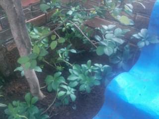 フッキソウの植栽