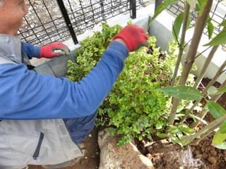 シモツケの植栽