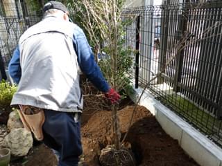 ヒメシャラの植栽
