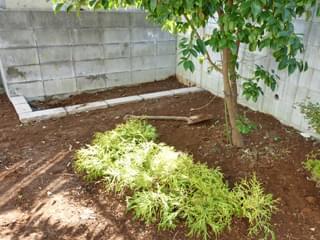 ゴールデンモップの寄せ植え