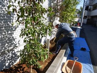 常緑ヤマボウシ(ホンコンエンシス)を植栽