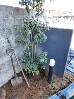 内側の主木のソヨゴ