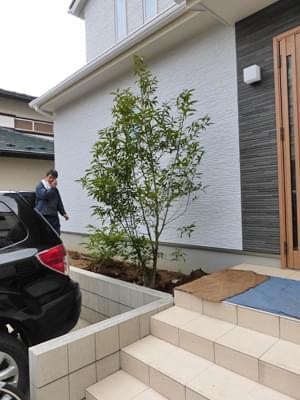 玄関左手にはシラカシを植栽