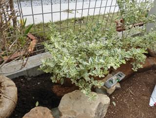 プリペットを植栽