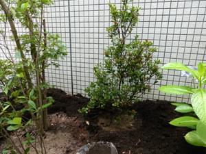 ヒメシャリンバイを添え木として植栽