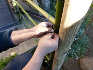 立子竹の縛り付け