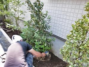 フェイジョアを植栽