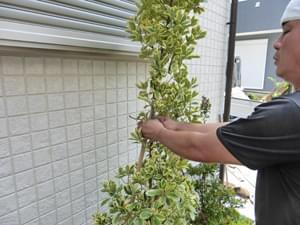 キンマサキの植栽