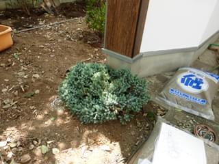 ポイントを引き締めるコニファー植栽