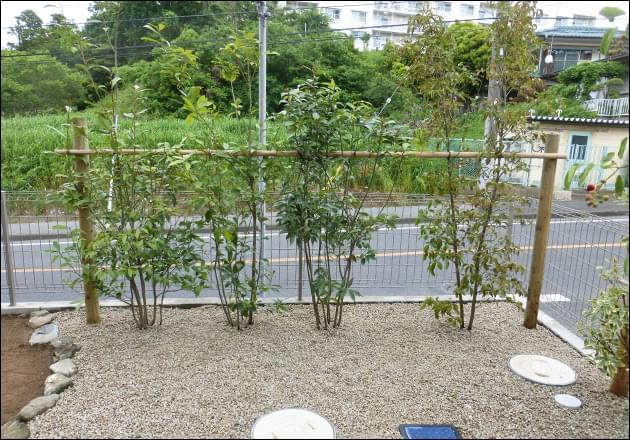 カシや常緑ヤマボウシによる列植
