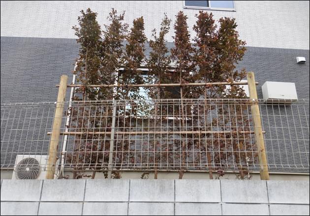 トキワマンサクによる背の高い生垣を設置