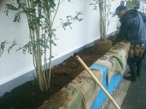 客土をしながらシマトネリコを植栽