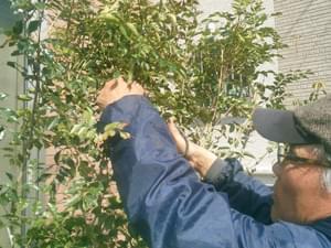 植栽へ初期剪定を
