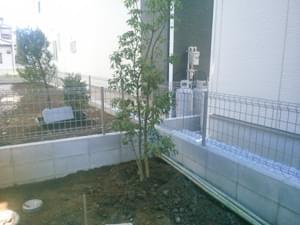 角に植栽したソヨゴ