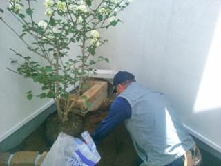 オオデマリの植栽