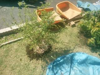 ビルベリーの植栽