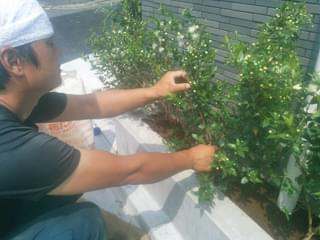 ギンバイカの寄せ植え