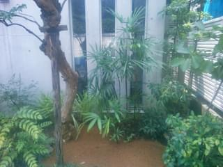 剪定を施した棕櫚竹
