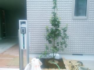 シンボルツリーのソヨゴを植栽