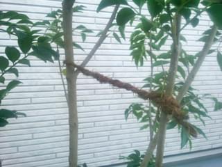 枝引きによる調整