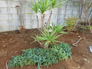 ドラセナの前へグランドカバーを植栽