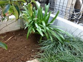 庭の隅に植えたアガパンサス