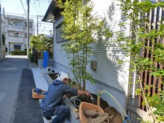 ヤマモミジの株立ちを植栽