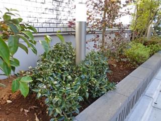 ハイカン(寒椿)の植栽