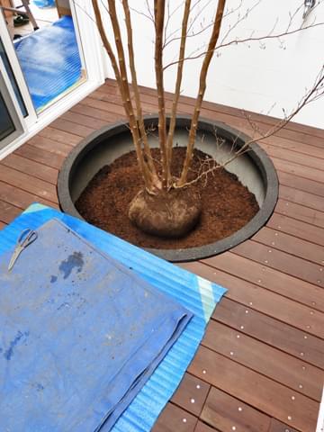 プランターに納められたヒメシャラの根