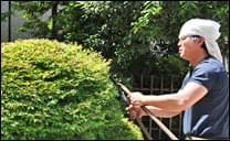 ドウダンツツジの刈り込み剪定