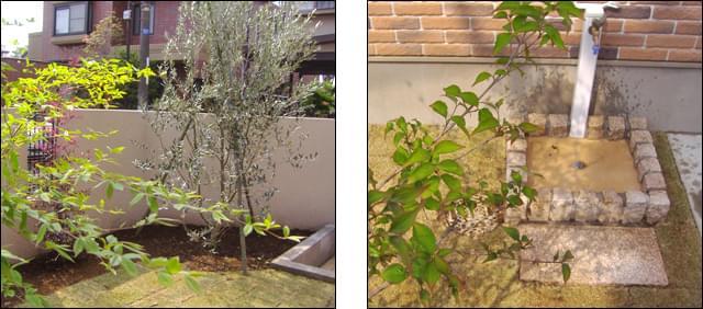 枝が美しいオリーブと、立水栓周りのデザイン