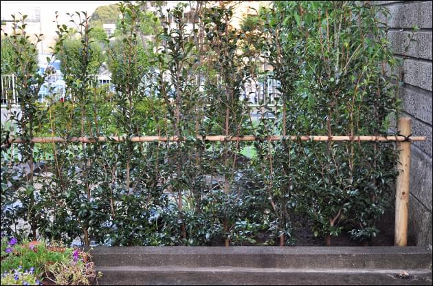 駐車場とお庭を区切る寒椿の生垣