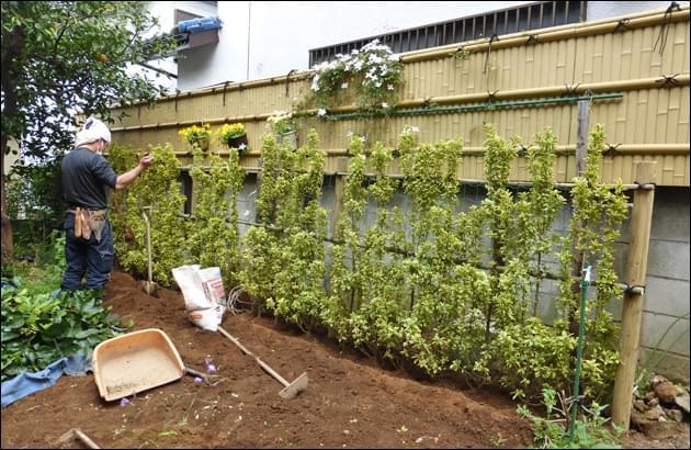 キンマサキで人工竹垣の下部を補充