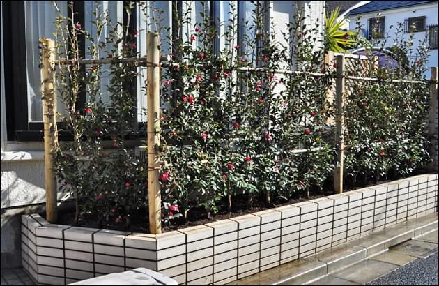 新たに施工した寒椿の生垣