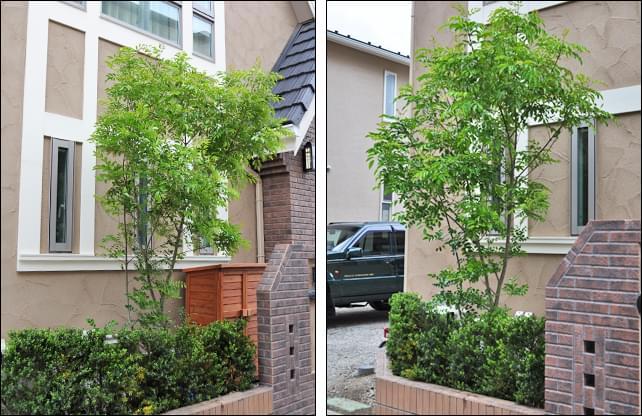 シンボルツリーとしてのシマトネリコの植栽