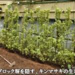 人工竹垣の下空き部分を補うキンマサキの生垣-松戸市H様邸