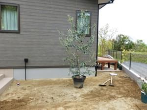 お客様が育てられましたオリーブを地植え