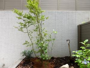 植栽したヤマモミジの株立ち