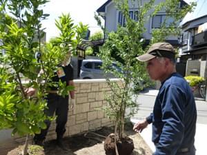 景観用にミカンを植栽