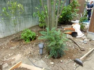 マホニアコンフューサの植栽