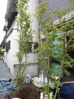 ヤマモミジを植栽